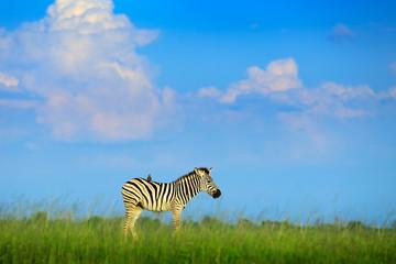 Fotomurales - Zebra with blue storm sky. Burchell's zebra, Equus quagga burchellii, Nxai Pan National Park, Botswana, Africa. Wild animal on the green meadow. Wildlife nature on African safari. Bird on the back.