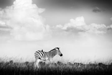 Fotomurales - Black and white Africa. Zebra with storm dark sky. Burchell's zebra, Equus quagga burchellii, Nxai Pan National Park, Botswana. Wild animal on the meadow. Wildlife nature, African safari.