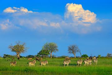 Fotomurales - Zebras with blue sky and storm clouds. Burchell's zebra, Equus quagga burchellii, Nxai Pan National Park, Botswana, Africa. Wild animal on the green meadow. Wildlife nature, safari in rainy season.