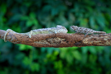 Furcifer verrucosus, Warty chameleon   sitting on the branch in forest habitat. Exotic beautifull endemic green reptile with long tail from Madagascar. Wildlife scene from nature.