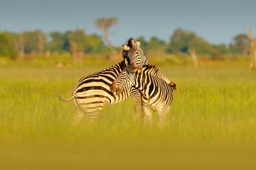 African savannah, green season. Zebras playing in the savannah. Two zebras in the green grass, wet season, Okavango delta, Moremi, Botswana