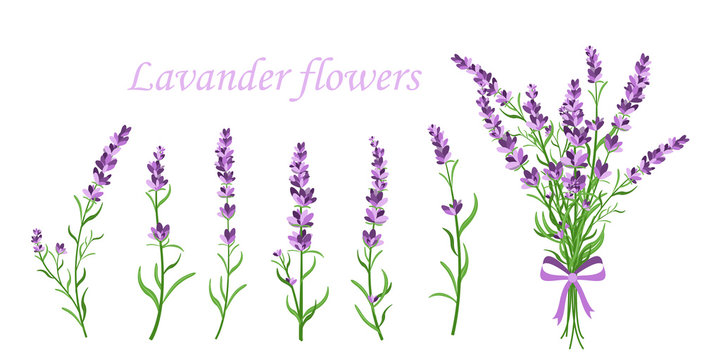 Vector illustration of lavender flower on different shape branches on white background. Vintage France provence concept in retro style. Pattern elements for romantic greeting cards and invintations in
