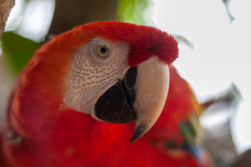 Head of colorful Scarlet macaw