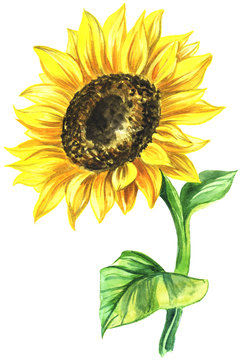watercolor painted sunflower. painted on paper single flower in color