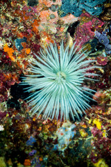 common feather duster worm