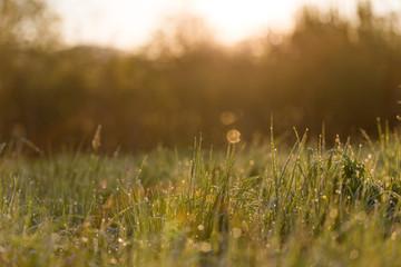 Sunrise Through High Grasses in Misty Morning in Spring