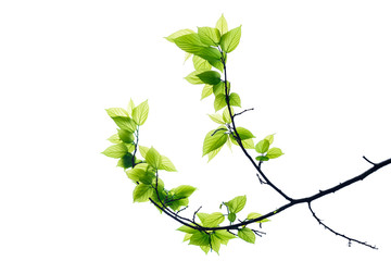 Wall Mural - Green tree leaves and branches isolated on white background.