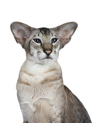 Head shot of sexy handsome tabby siamese adult cat,  looking beside lens with deep blue eyes, isolated on white background