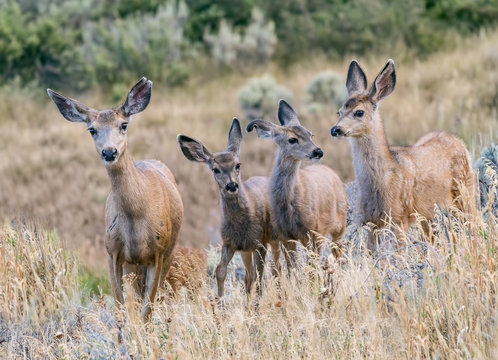 Backyard Band of Brothers - A family of mule deer scout my backyard in search of vegetation to eat. My flowers don't stand a chance. Silverthorne, Colorado.