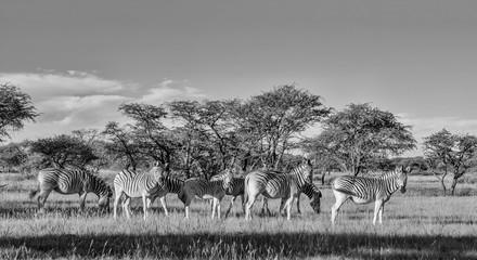 Fototapeta Burchell's Zebra Family Group