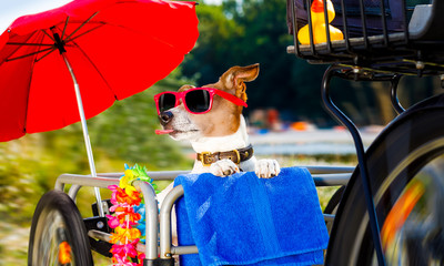 dog on a bike trailer on summer vacation