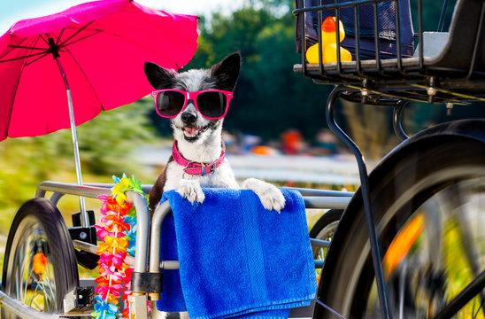 dog on a bike trailer or basket