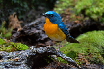 Bird in blue and orange color in nature,front view..Colorful mature flycatcher male bird in full plumage perching on log beside a pond in deep rainforest  of Thailand.
