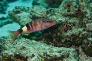 Fiji Goatfish