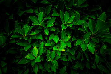 Natural green leaves, background,wallpaper and texture