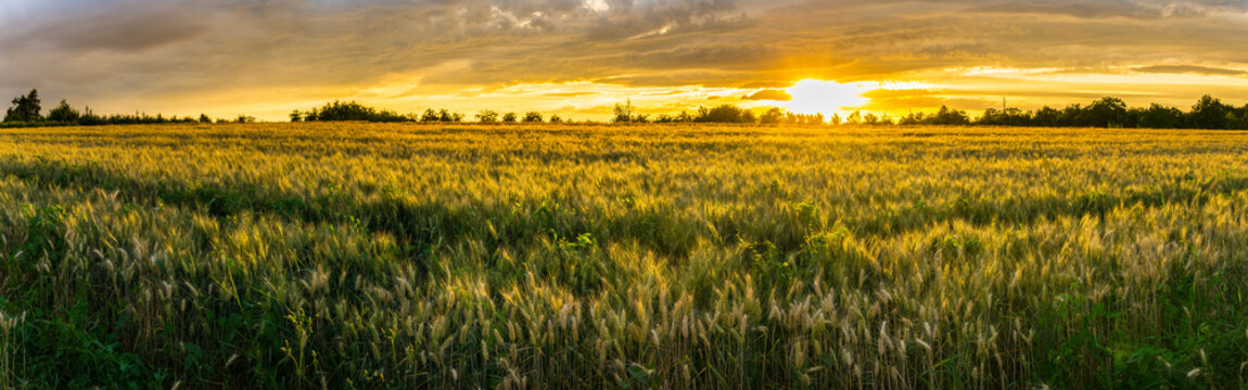 Germany, XXL panorama of rural wheat fields in warm sunset light
