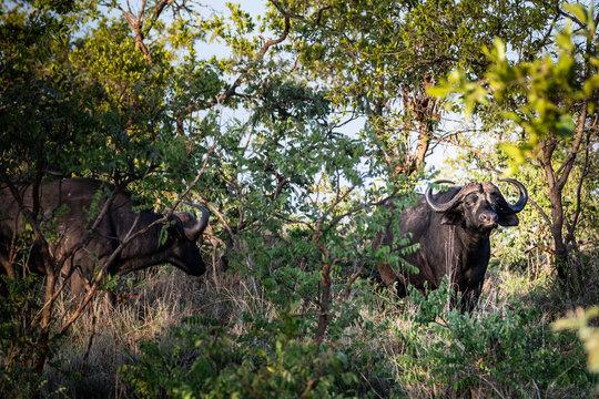 Two Cape Buffalos