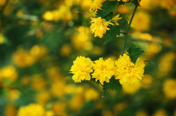 True Yellow
