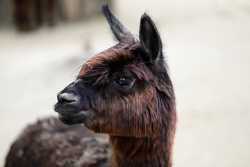 Domesticated Alpaca (Vicugna pacos) species of South American camelid