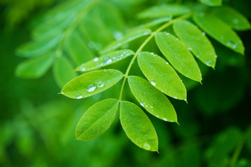 leaves of acacia in the rain, bright juicy green color of the acacia branch on which the drops are located, the background is blurred