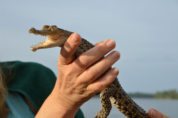 Babykrokodil in der Hand Crocodylia