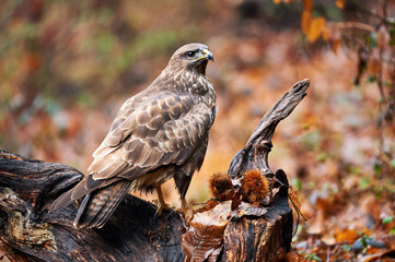 Buzzard perched on a branch