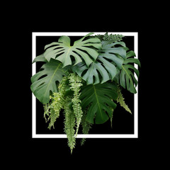 Tropical foliage plant bush of Monstera and hanging fern green leaves floral arrangment nature backdrop with white frame on black background.