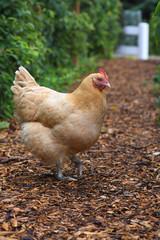 Coy Chicken