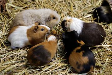 Family of domestic guinea pig (Cavia porcellus) cavy