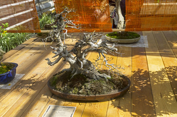 "Oriental hornbeam - Bonsai in the style of ""Bent by the wind""."