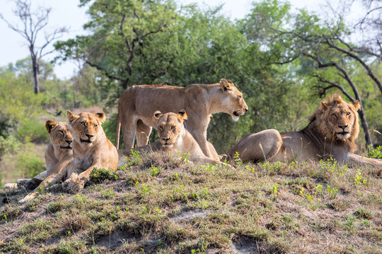 Lion family coming from Kruger into Sabi Sands Game Reserve and resting on a small hill at a watherhole in South Africa