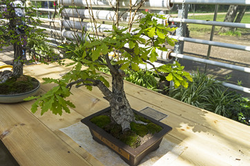 """English oak - Bonsai in the style of """"Straight and free""""."""