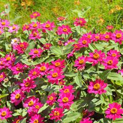 Background of beautiful flowers zinnias.