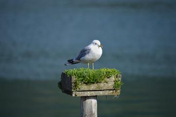 Möwe sitzt auf Pfahl; Norwegen