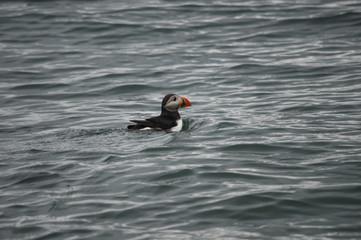 Papageientaucher schwimmt im Meer 2; Fjord, Norwegen