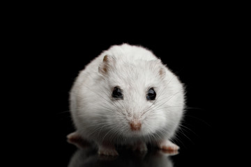 Curious White Hamster sitting Isolated on Black Background with Reflection