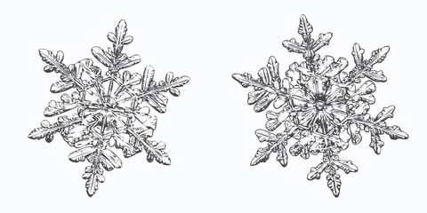 Two snowflakes isolated on white background. This vector illustration based on macro photo of real snow crystals: small stellar dendrites with hexagonal symmetry, ornate shape and thin, elegant arms.