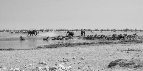 Elephant Chasing Zebra
