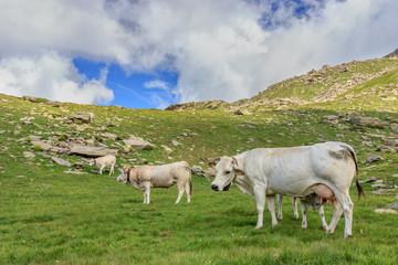 mucche in fila