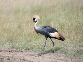 Grey Crowned Crane {Balearica regulorum}  in Masai Mara, Kenya