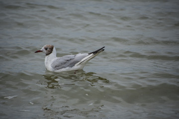 Gull or seagull, seabird of the Laridae family in the suborder Lari, swimming on the beach of the Baltic Sea