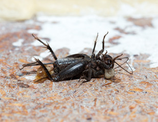 dead, black cricket insects