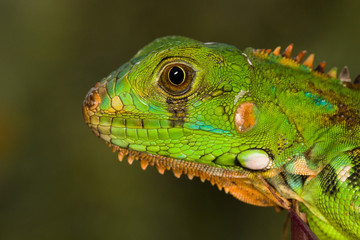 Portrait of a young iguana
