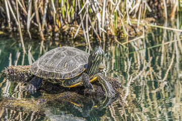 Turtle sitting on a rock in a pond with its head up