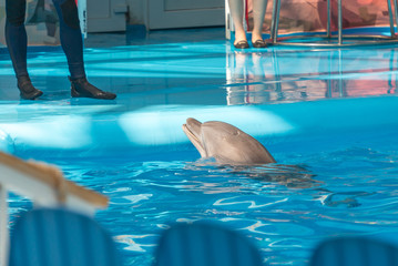 trained dolphin in the pool