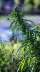 Wild hemp. Close-up. Young green plant selective focus