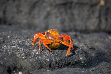 Red crabs Galapagos