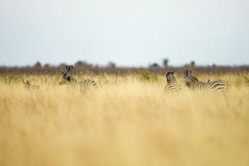 Wall Mural - Herd of wild zebras in tall grass in Africa