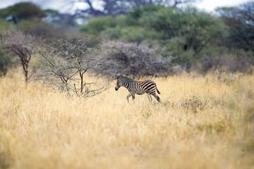 Wall Mural - Baby Zebra alone in Africa
