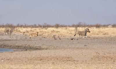 Female Lions Hunting